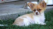 Aufgeweckter Chihuahua-Rüde 17 Wochen