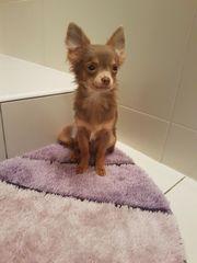 Welpe - Chihuahua lilac &
