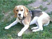 Kerngesunder Beagle-Rüde mit super Ahnentafel