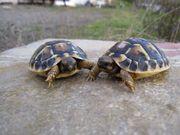 Griechische Landschildkröte, Testudo