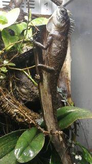 nackenstachler Acanthosaura Capra Pärchen