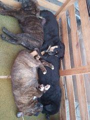 6 mischlings welpen