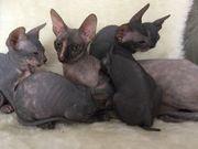 Don Sphynx Kitten Babys mit