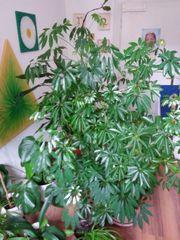 Wunderschöne repräsentative große Zimmerpflanzen suchen