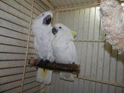 2 Weißhauben-Kakadu