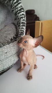 Canadian Sphinx Kitten