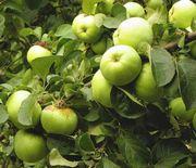 Obstbäume: Aprikose, Pflaume,