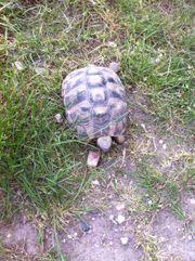 Griechische Landschildkröten weiblich