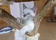 Zauberhafte Bengalkitten mit Stammbaum