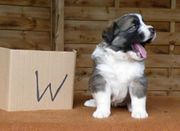 Pyrenäenberghund-Mix Welpen