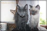 Colorpoint Mix - Kitten (