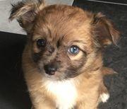 Wünderschöne Chihuahua Welpen