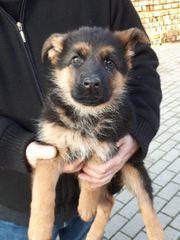 Deutscher Schäferhund Welpe Hündin zu