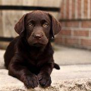 Kräftige Schoko Labrador
