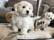 Exclusive Maltipoo Welpen in Creme -