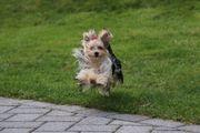 Yorkshire Terrier Mädchen