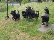 SCHÄFERHUND-Rottweiler Mix