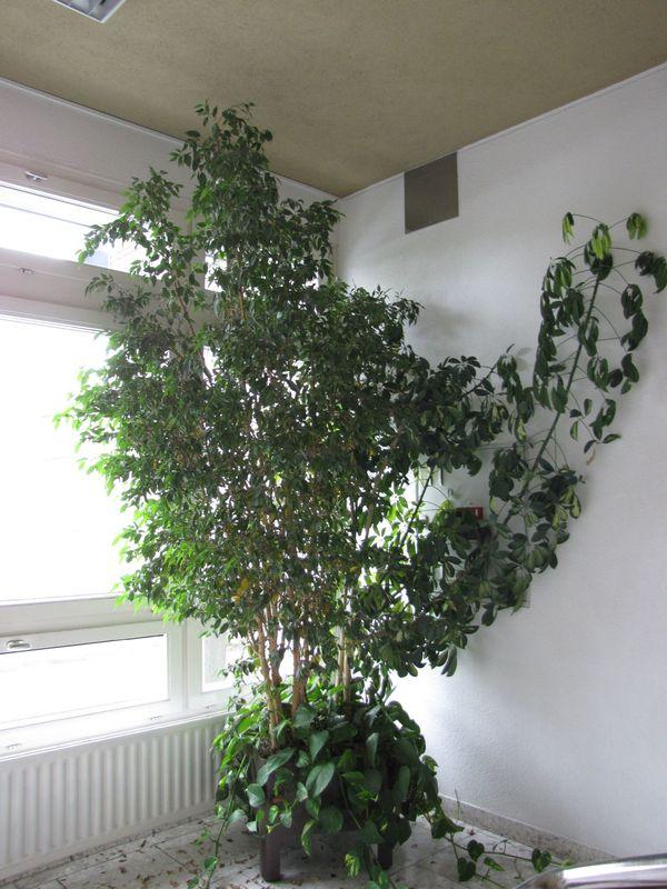 Uber 40 Zimmerpflanzen In Hydrokultur In Dornbirn Pflanzen Kaufen