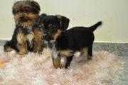 Niedliche Yorkshire Terrier Mischlingswelpen