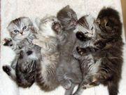 Katzenbaby Scottish Fold BKH