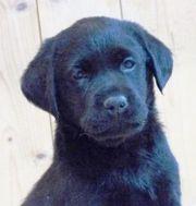 schwarze Labradorhündin im
