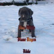 Bulldoggen Welpen Blau OEB Bulldoggen
