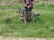 Wilbur - loyaler Schäferhund-