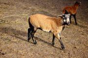 Kamerun Schafe Lämmer