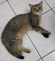 1 BKH-Kitten 1 Bube 8